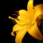 25 Eye Catching Images Of Lilly flower