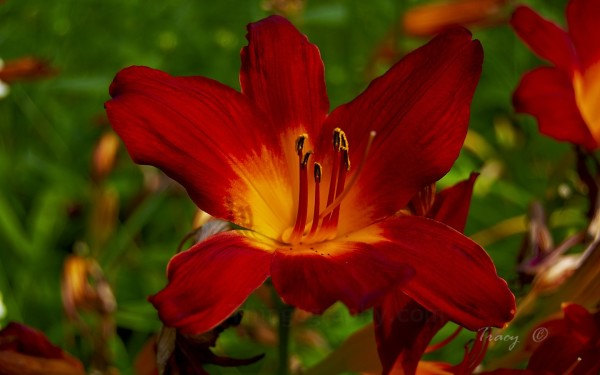 Lilies Photo Gallery