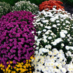 perennial spray chrysanthemums